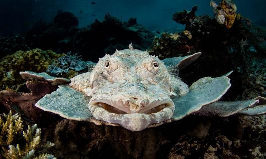 requin wobbegong ou requin tapis barbu de Raja Ampat