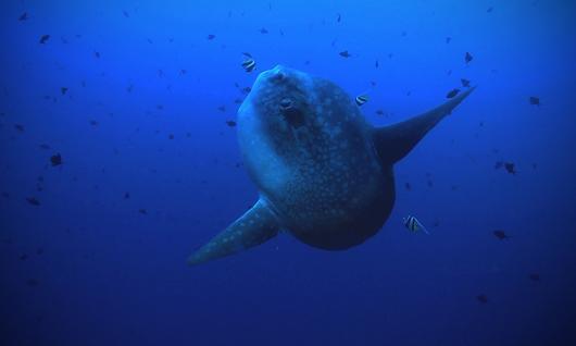 Mola-Mola, poisson lune à Bali