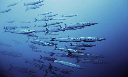banc de barracudas
