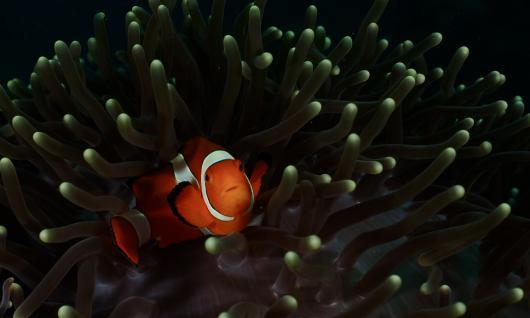 poisson clown dans son anémone
