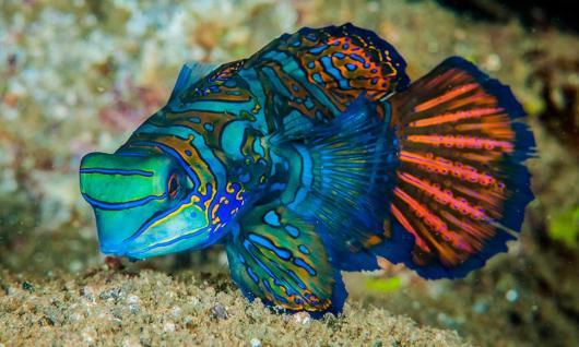 poisson mandarin - plongée à Komodo