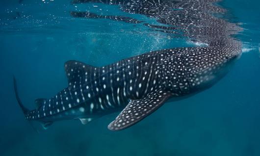 requin baleine à Djibouti