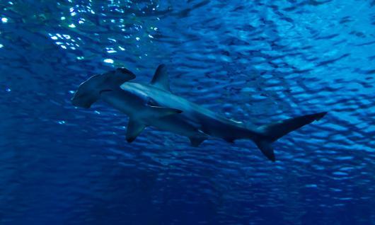 requin marteau au Soudan