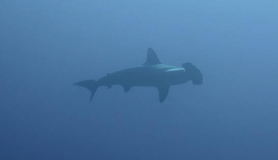 Requin marteau au Soudan - Emmanuella Balzarotti