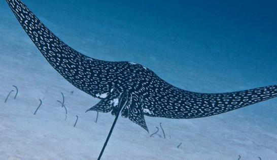 Raie aigle à Cozumel