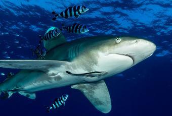 Requin longimanus remontant à la surface en Egypte